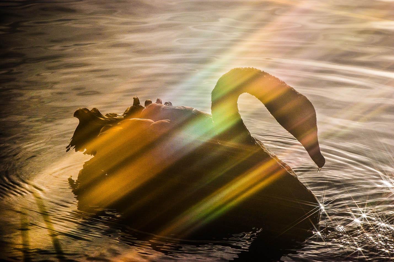 fotografia de natureza cisne