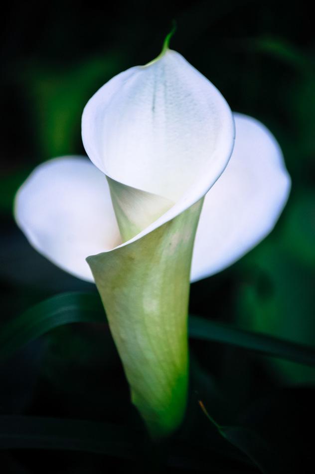 fotos da natureza copo de leite